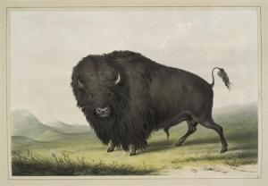 buffalo-bull-grazing-1845.jpg!Blog